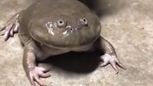 """蝌蚪中的""""巨无霸"""",身长超过30厘米,变成青蛙后却是这样"""