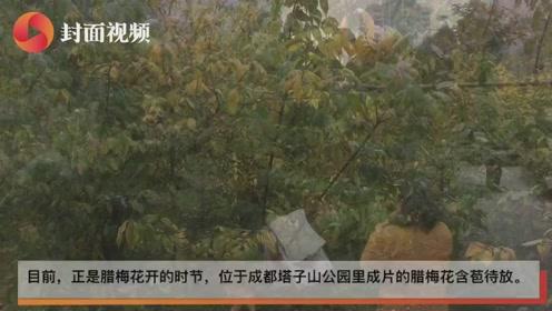 成都塔子山公园腊梅花香飘四溢