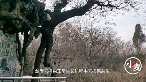"""郑州一皂角树创""""独木成林""""奇特景观,撑起方圆百十平方米的林荫"""