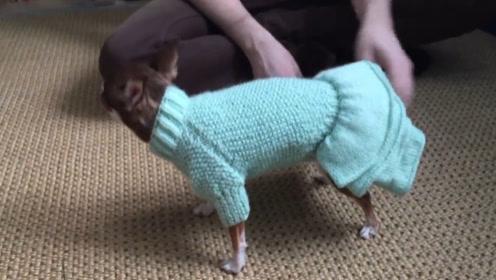 铲屎官给狗狗穿衣服,这狗子也要精心打扮?网友:好高级哟