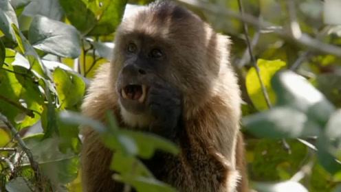 在树上吃的正香的猴子,被一只老鹰盯上,接下来一秒猴子傻眼了
