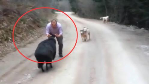 黑羊想要攻击主人,不料被两只狗狗发现了,下秒小羊瞬间后悔了!