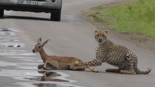 猎豹抓住羚羊并没有动手,本以为可以逃过一劫,接下来猎豹的举动让人意外