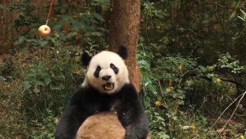 大熊猫向游客炫耀苹果,结果乐极生悲,被旁边的一只抢走了