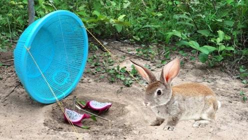 超简易兔子陷阱,使用圆形塑料篮构成,不一会猎物就上钩!