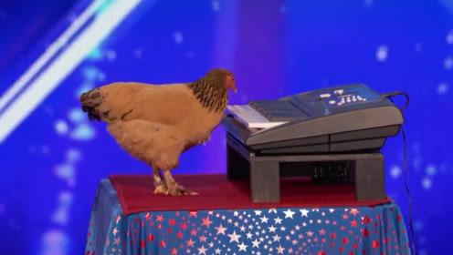 这是我见过最有才华的鸡,能弹出著名钢琴曲,评委:我还没看够