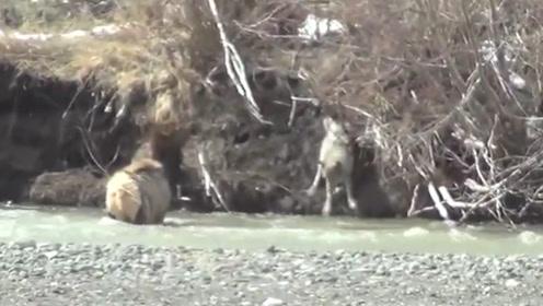 一只羊站在水中不让狼抓,不料野狼直接下水,下一秒憋住别笑