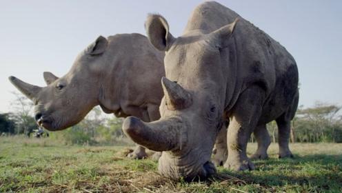 最后再看一眼,全球最后两头白犀牛,最多50年就见不到了!