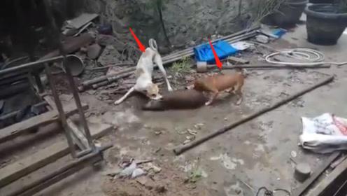 两只狗狗攻击野猪,场面十分激烈,最后二师兄结局太惨