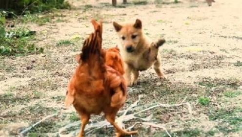 狗子报仇十年不晚,那年被欺负的中华田园犬,它来了!它来了!