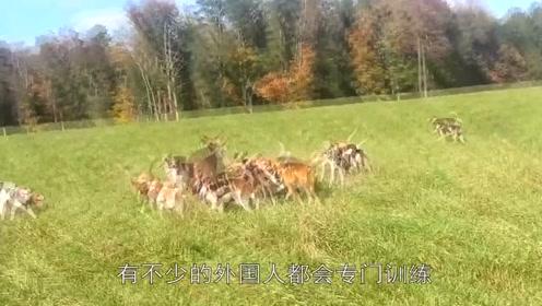 20只猎狗捕捉一只狐狸,狐狸直接倒地不起,镜头记录全过程