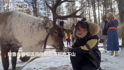 探秘中国使鹿部落驯鹿萌翻全场