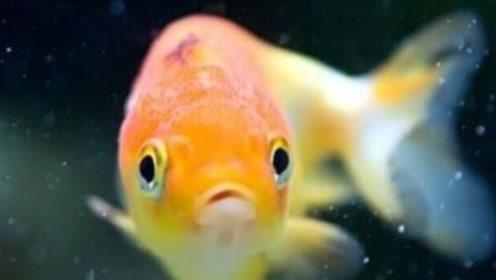 金鱼记忆真的只有七秒吗?实验证明并非如此,它的记忆相当长
