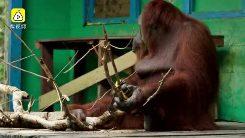 这两只猩猩的比赛 才算真正拉锯战