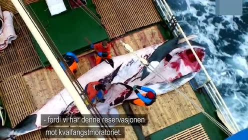 怀孕母鲸也杀!挪威4月捕鲸季将捕鲸上限调升至999头