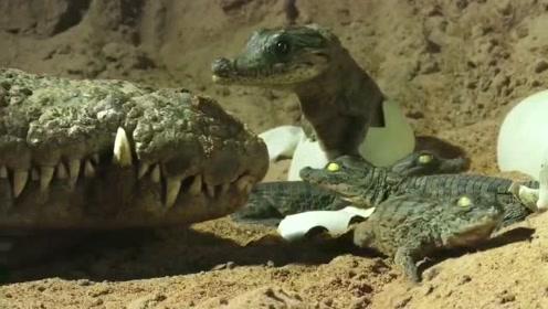 鳄鱼的母爱,快去BBC《荒野间谍》看看吧