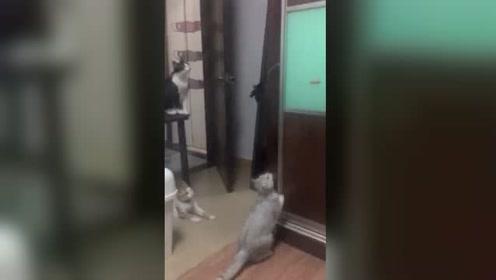 天天打架的三只萌猫,为了逗猫棒齐齐联手
