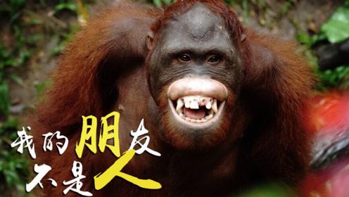 黄猩猩一通乱咬之后,偷拍相机居然屹立不倒!还拍到了施暴的全过程