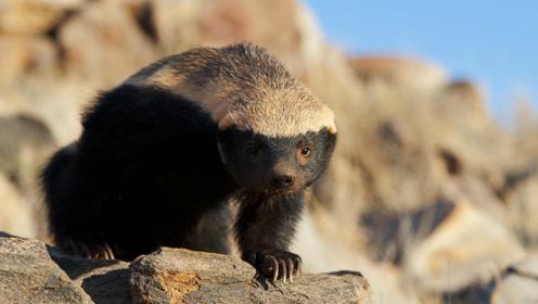 蜜獾平头哥聪明又意志坚决,用各种方法尝试逃跑