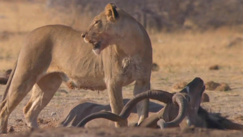 虚弱的狮子抓不到猎物,直到一只羚羊犯了个错误