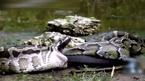 别因为鳄鱼很牛,鳄鱼遭蟒蛇生吞,2分钟遭到报复