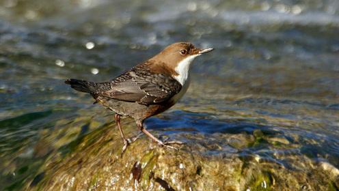 英国唯一的水栖名禽,把巢筑在瀑布边,为了保护幼鸟