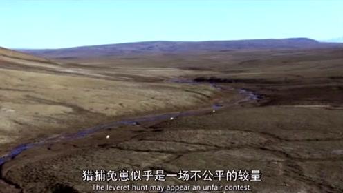 不公平的较量!北极狼群围追堵截猎杀北极兔幼崽