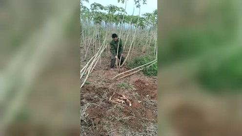 在南方农村,农民冒着生死种植一种有毒的植物,只因为它的价格不菲