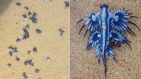澳海滩惊现奇特蓝色生物 如科幻电影中外星生物