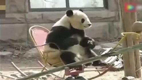 大熊猫不得了了!一边听洗脑神曲,一边玩摇摇椅,都萌出血了!