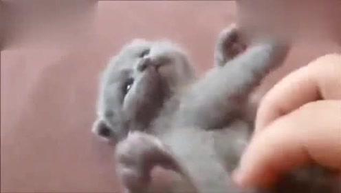 可爱的小奶猫就如同一个小肉囊一样,真想捏在手里玩