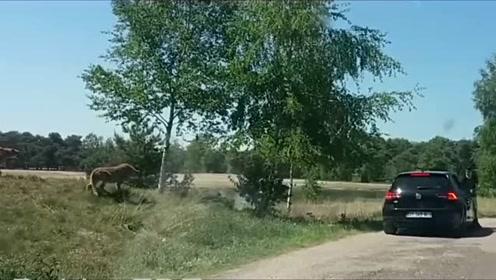 又现野生动物园下车拍照 一家人被猎豹追逐索性没伤亡