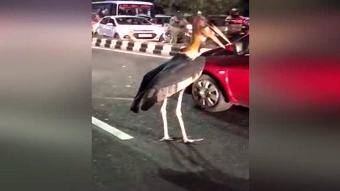 这是什么鸟?跑到街上到处乱串,吓坏市民
