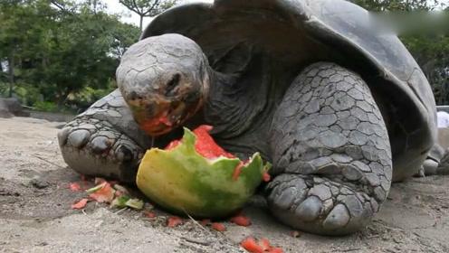 活久见!原来乌龟也喜欢吃西瓜,这咬合力厉害炸了