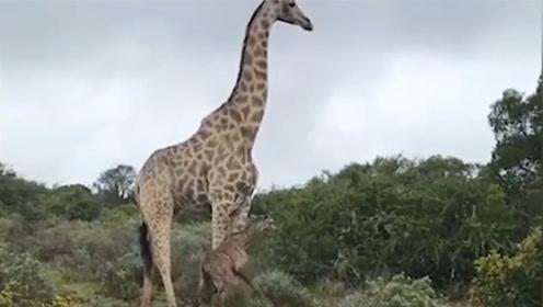 出生2小时小长颈鹿刚学会站立 就成狮子口中餐
