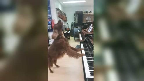 这狗狗真是弹唱俱佳!