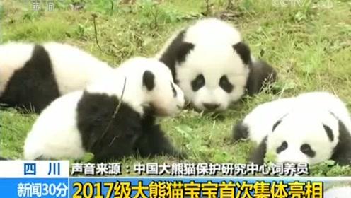 场面一度失控!2017新生大熊猫宝宝集体亮相萌炸裂!