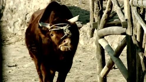 牛郎被赶出家门,结果牛郎养的牛和牛郎道别,好感人