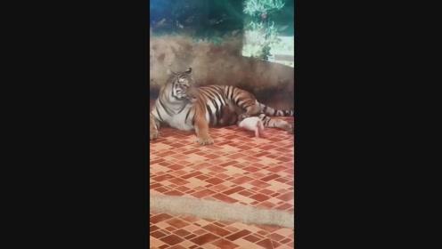 老虎还是养肥了再吃比较划算,你走我不想动你