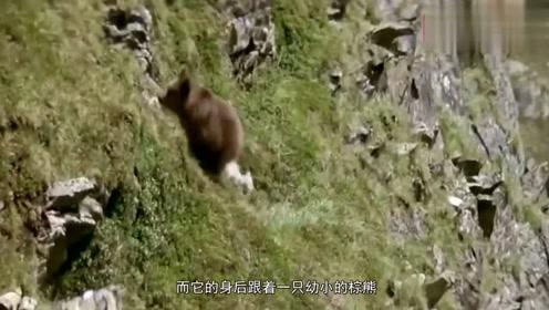美洲狮捕食小棕熊,棕熊妈妈看见直接冲了过来,结局是这样