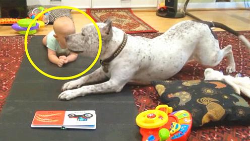婴儿学不会爬可把狗狗急坏了,不料狗狗的动作,爸妈都傻眼了