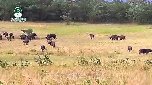 牛群向狮群发起复仇,狮子被打的连连后退,镜头拍下全过程
