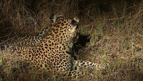 野狗们趴在草原上休息,一只豹子突然站了起来,它准备行动了!