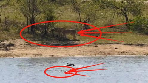 水牛为躲狮群追捕,勇跳河中不料又遭鳄鱼袭击,结局让人意想不到!