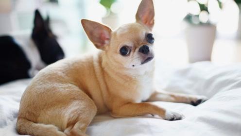 为什么体型很大的宠物狗,寿命会比体型很小的宠物狗更短呢?