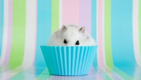调皮的小仓鼠带上主人的眼睛,偷偷的吃着零食!