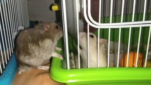 这俩只仓鼠又隔笼子腻歪一起去了 放过单身狗!