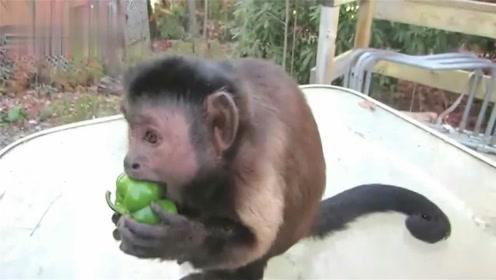 猴子吃辣椒会是什么反应?仅仅一口就无法忍耐,场面一度非常混乱