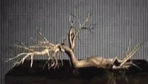 古树会行走还带着水一起移动 揭开古树谜团令人震惊