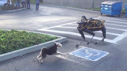当宠物狗遇到机械狗的时候,谁能胜出呢?
